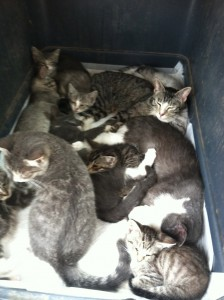 Many of the friendly cats were all put together in a big crate, since we underestimated how many we were bringing back!