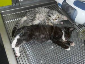 A couple kittens getting ready for neuter!
